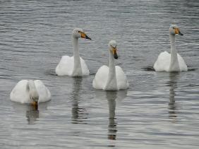0 cisnes